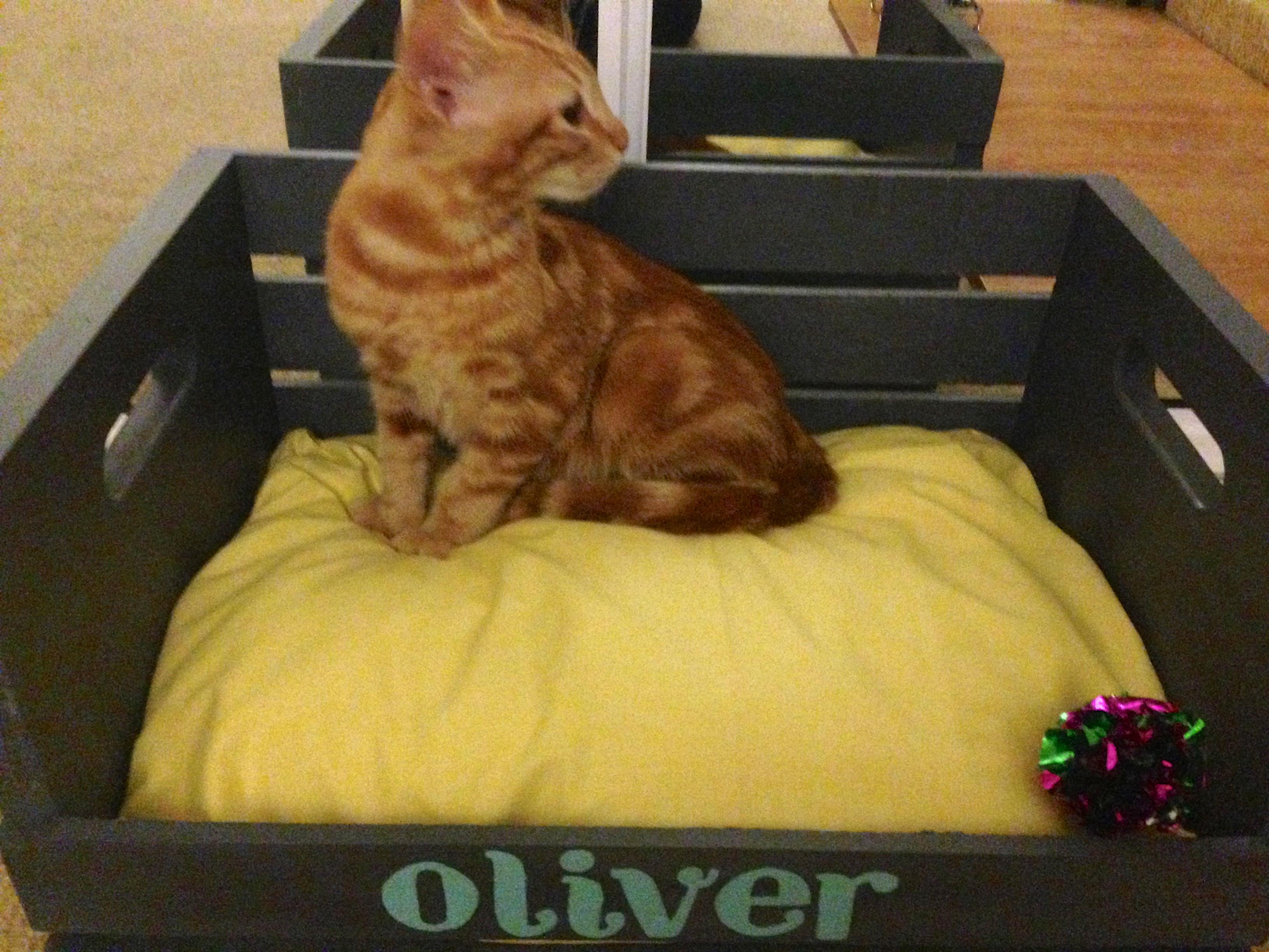 kitten with brown eyes